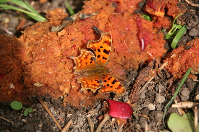 Comma butterfly on a late autumn pub crawl