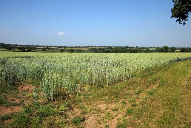 Wheat near Dart Raffe Farm