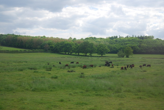 Cattle grazing in the Rother Valley