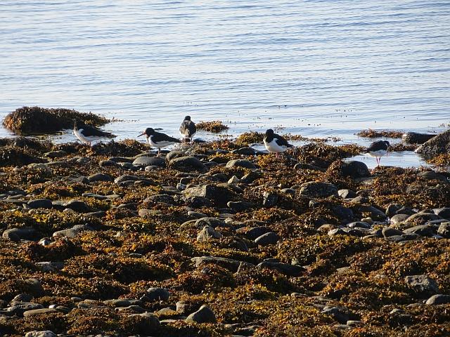 Oystercatchers near Glecknabae