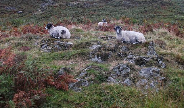 Sheep below Ivy Crag