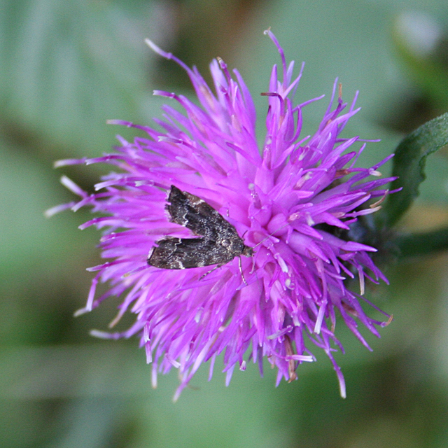 Knapweed and Moth