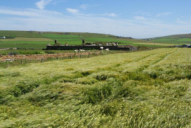 Barley field near Cumlaquoy