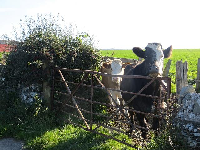 Cattle, Ballianlay
