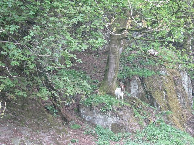 Goats, Chapel Craig
