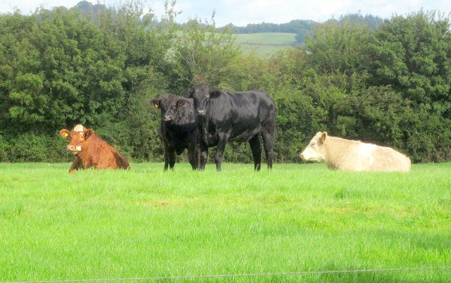 Cattle by Heathfield Road, Denbury