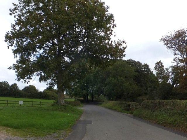 Lone tree on the road to Dartington Hall