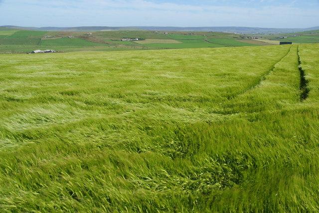 Barley field on Marwick Head