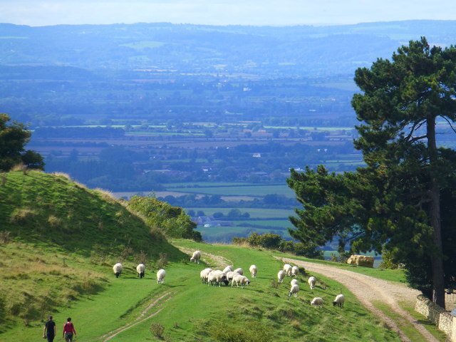 Sheep, footpaths, and a view from Cleeve Hill