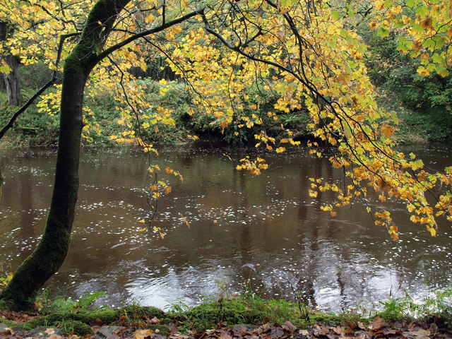 Autumnal Tree at the side of the River Wharfe