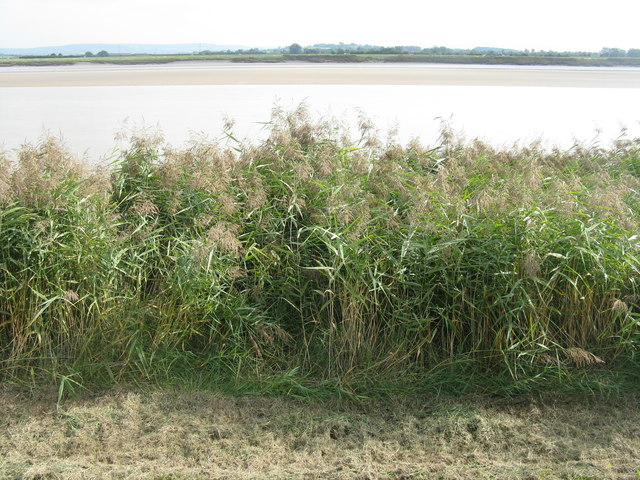 Reeds on the bank of the Severn