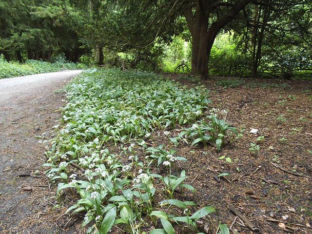Ramsons in Strid Wood