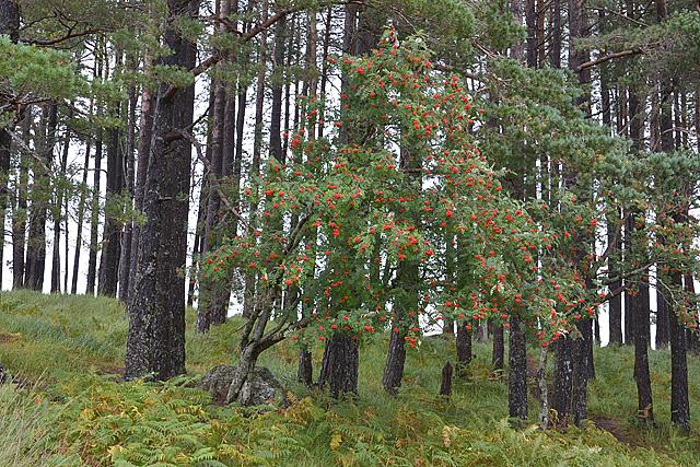 Rowan tree and pines