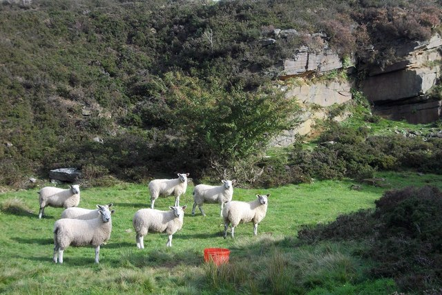 Sheep in the disused stone quarry at Hagg Bridge