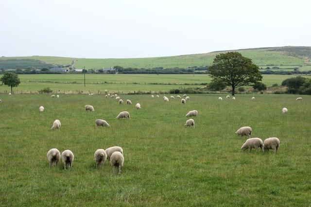Sheep grazing near Rhyndaston Fawr