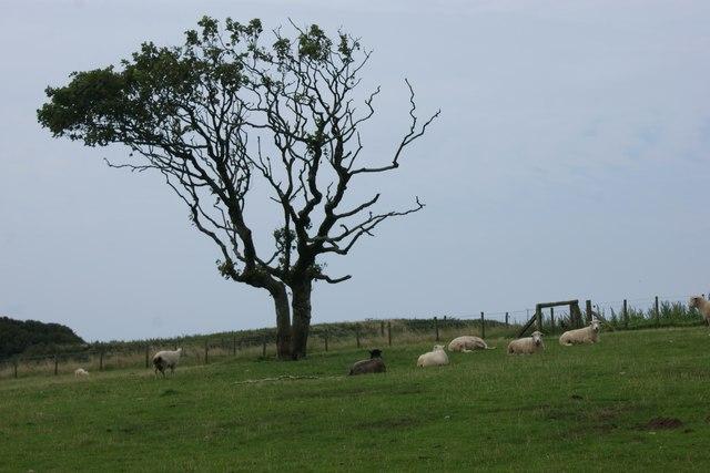 Windswept tree near Rhyndaston Fawr