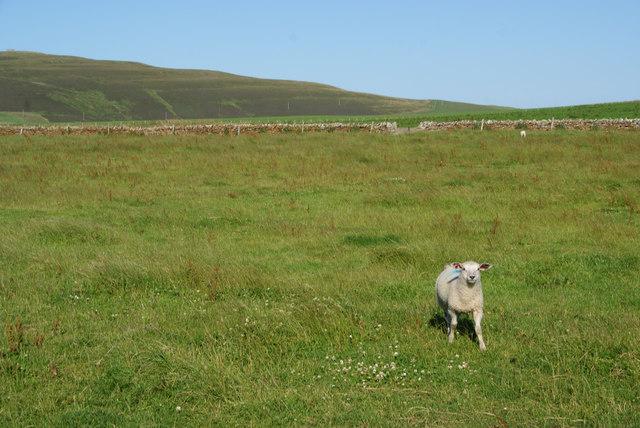 Solitary lamb by Swannay Farm