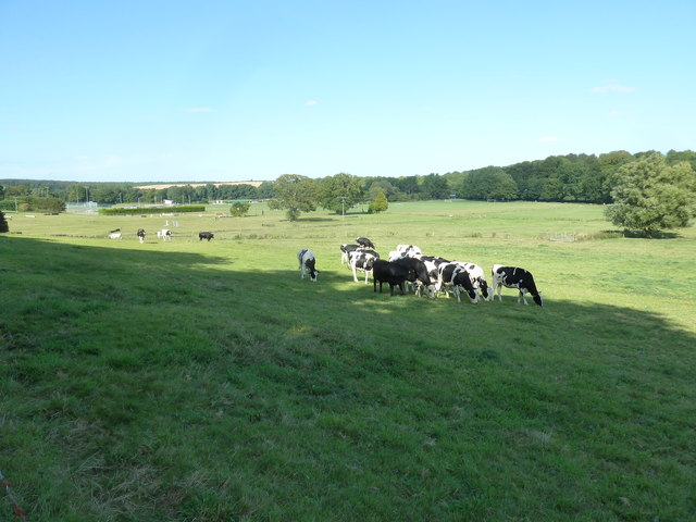 Cattle grazing in a field at Bryanston