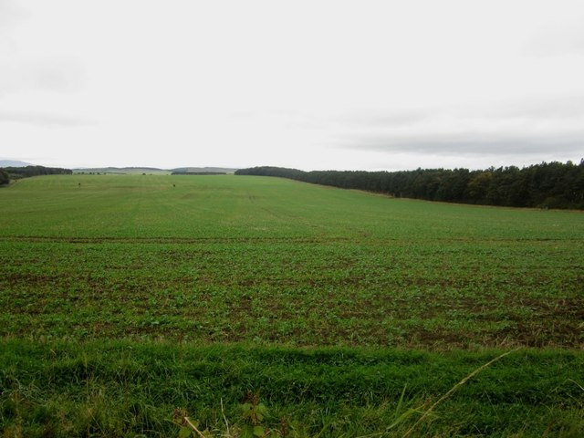 Oilseed rape growing north of Laverock Law