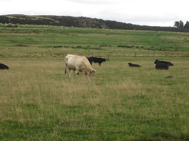 Grazing cattle seen from St Cuthbert's Way