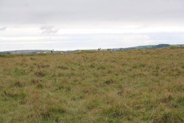 Sheep on top of Eggardon Hill
