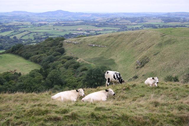 Bullocks on Eggardon Hill