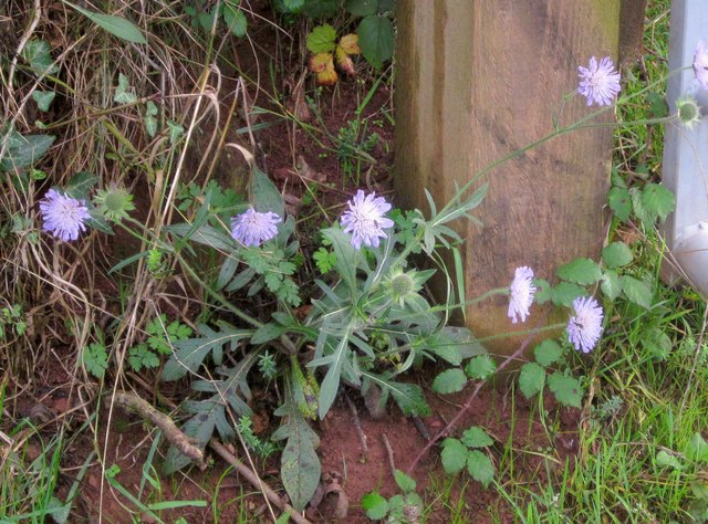 Scabious in October, Ridge Lane