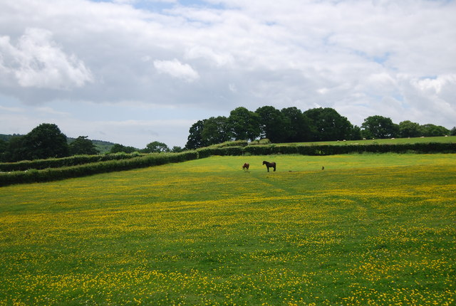 Horses in a buttercup meadow