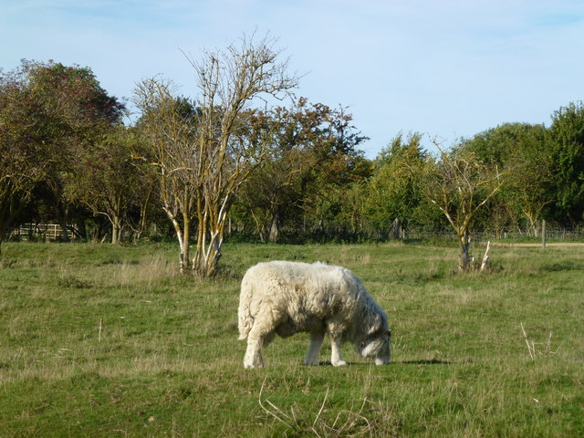 Woolly sheep near Barnwell Country Park