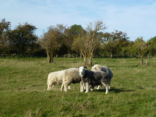 Flock of woolly sheep