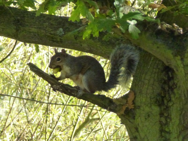 Squirrel with an acorn - Barnwell Country Park