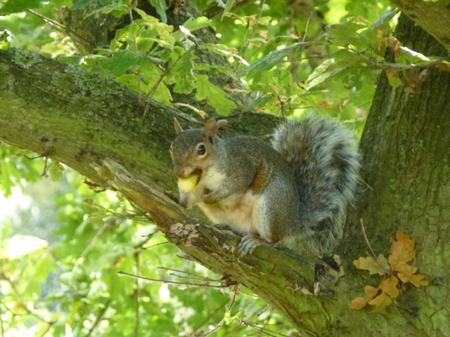 Squirrel and acorn in Barnwell Country Park