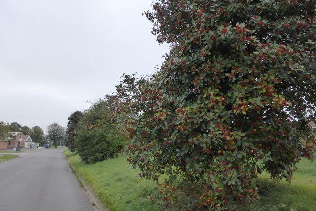 Berries in Manning Road