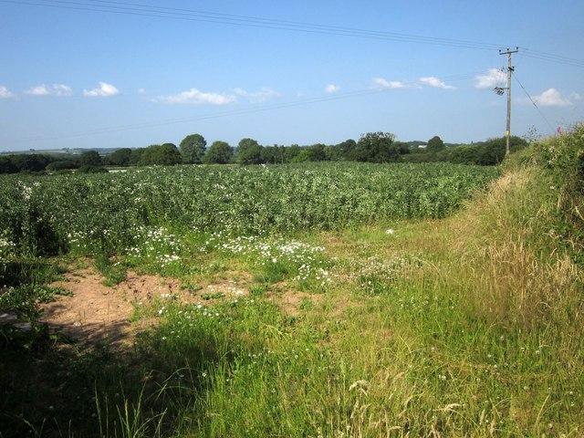 Crop at Witheridge