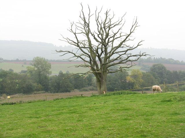 Dead tree at New Court Farm