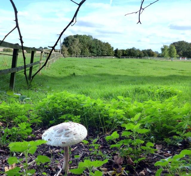 Parasol Mushroom, North Stanmore Farm