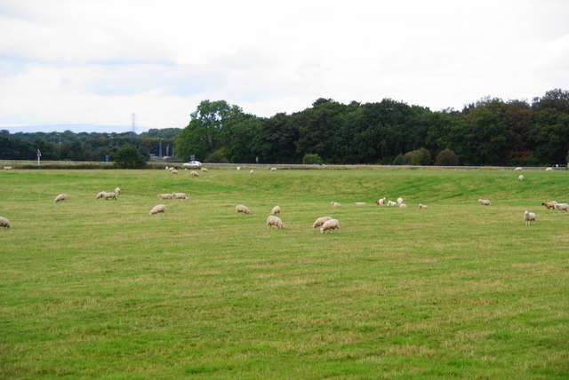 Sheep by Dirty Lane
