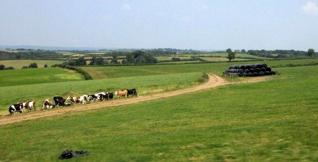 Cattle near Meshaw Rectory Cross