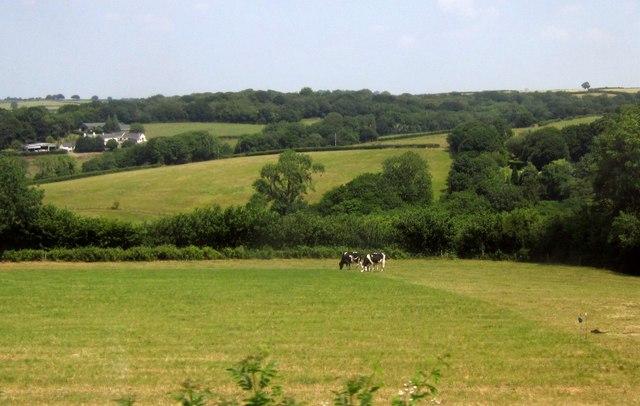 Cattle near Meshaw