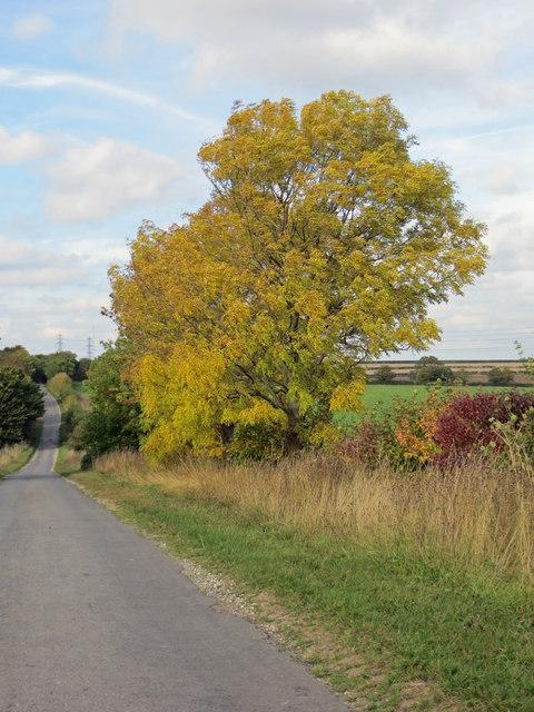 Autumnal Ash Tree on Race Lane
