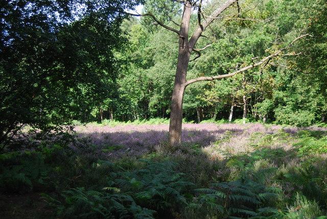 Open woodland, Chislehurst Common
