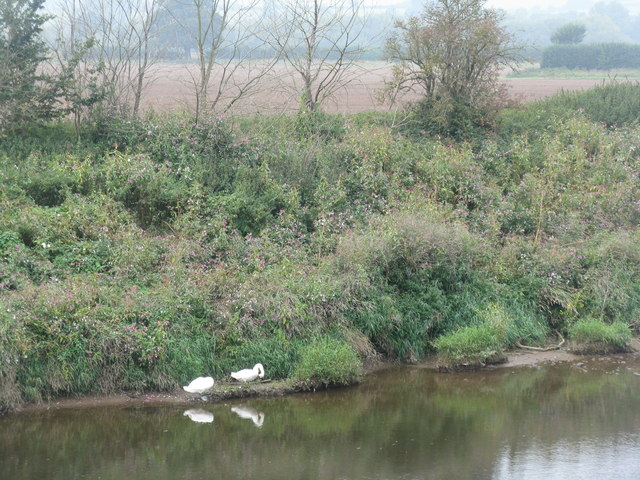 Swans by the River Wye