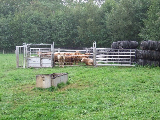 Corralled Cattle