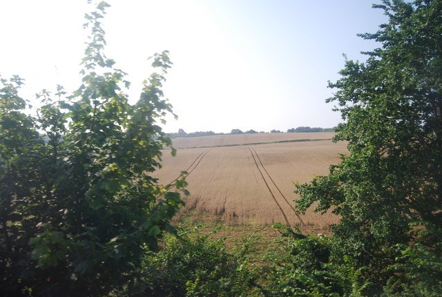 Large ripening wheat field