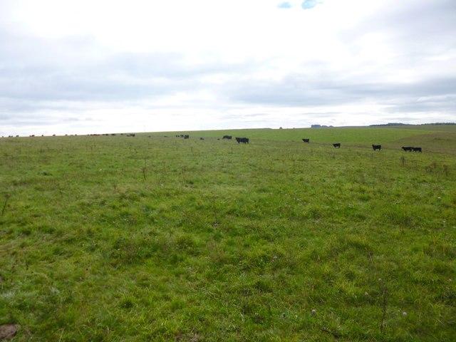 Chitterne, cattle grazing