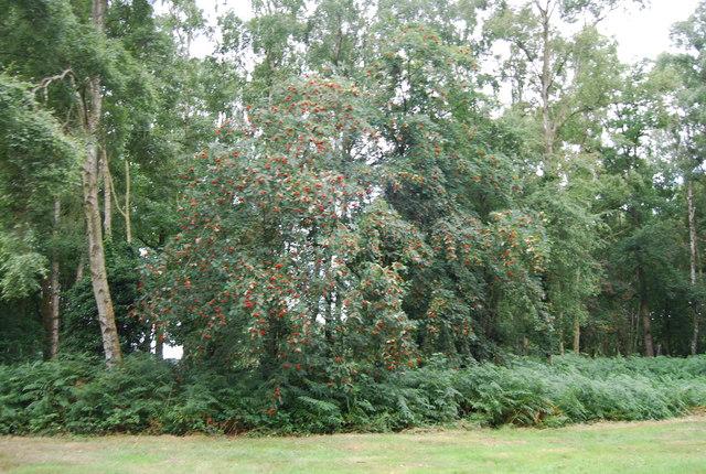 Rowan tree, Chorleywood Common