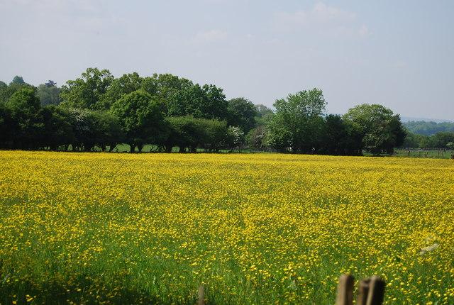 A fine crop of buttercups