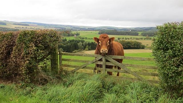 Limousin bull, Wanton Walls