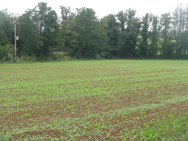 Winter rape emerging at Newhouse Farm