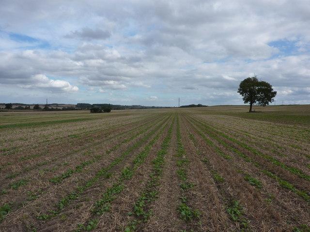 Brassica crop , farmland near Eakring